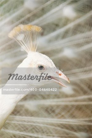 A  male white peacock displaying its feather. Stock Photo - Budget Royalty-Free, Image code: 400-04640422