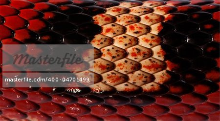 Close-up of Nelson's Milkshake scales, Lampropeltis triangulum nelsoni Stock Photo - Budget Royalty-Free, Image code: 400-04701499