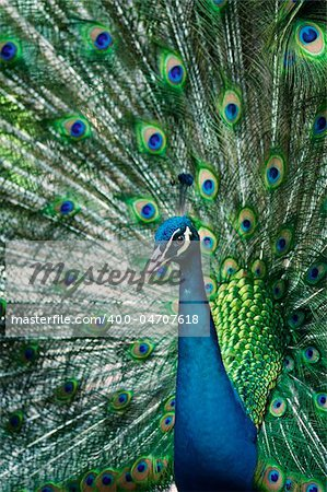 A beautiful peacock portrait with colorful feathers Stock Photo - Budget Royalty-Free, Image code: 400-04707618