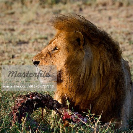 Supper of a lion. A having supper lion in the light of the coming sun with a meat piece. Stock Photo - Budget Royalty-Free, Image code: 400-04727848