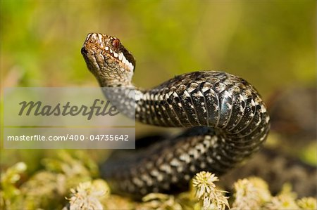The viper lies on green to a moss and has threateningly lifted a head. Stock Photo - Budget Royalty-Free, Image code: 400-04735642