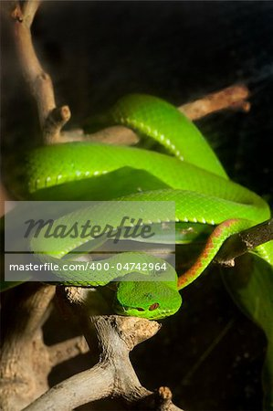 green snake Stock Photo - Budget Royalty-Free, Image code: 400-04742964