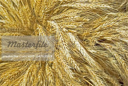 big cock of mature wheat spikes Stock Photo - Budget Royalty-Free, Image code: 400-04763508