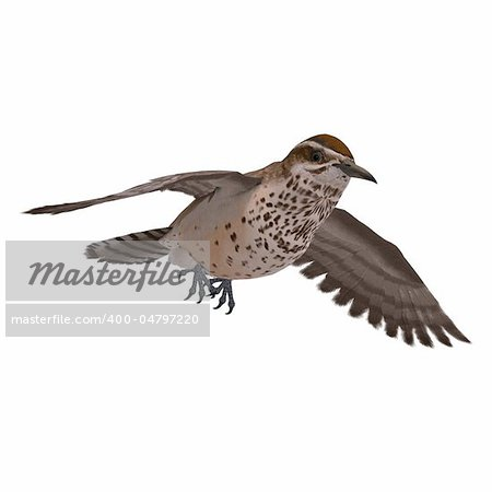 Cactus Wren. 3D rendering with clipping path and shadow over white