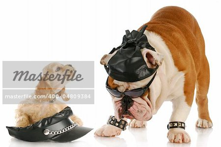 english bulldog and cocker spaniel puppy dressed up like bikers with reflection on white background Stock Photo - Budget Royalty-Free, Image code: 400-04809384