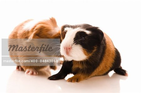 baby guinea pigs Stock Photo - Budget Royalty-Free, Image code: 400-04843068