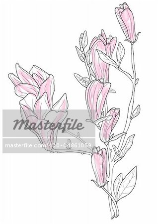 Vector illustration of beautiful pink magnolia