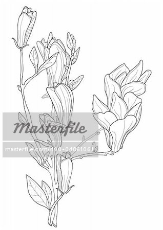 Vector illustration of beautiful magnolia