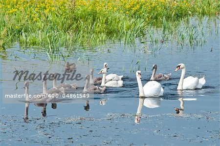 swans family swimming in water