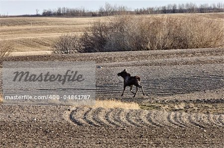 Moose Cow and Calf Saskatchewan Canada Stock Photo - Budget Royalty-Free, Image code: 400-04861787