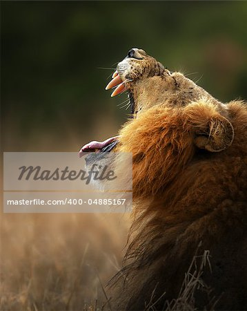 Lion displays dangerous teeth - Kruger National Park - South Africa Stock Photo - Budget Royalty-Free, Image code: 400-04885167