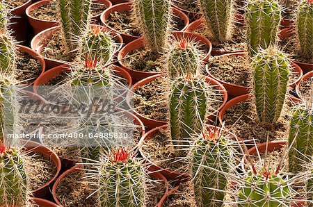 Full frame take of an industrial cactus plantation Stock Photo - Budget Royalty-Free, Image code: 400-04885830