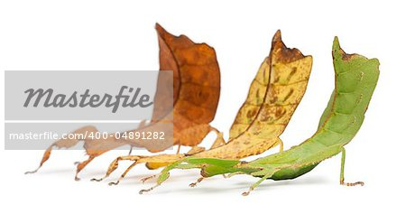Phyllium Westwoodii, three stick insects, in front of white background Stock Photo - Budget Royalty-Free, Image code: 400-04891282
