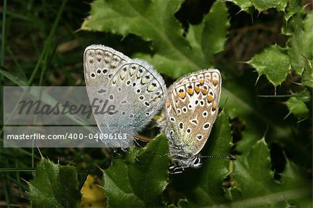 Gossamer-winged butterflies (Lycaenidae) with the pairing Stock Photo - Budget Royalty-Free, Image code: 400-04896163