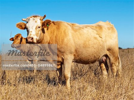 Australian beef cattle in dry winter pasture with blue sky