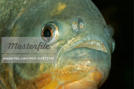 Portrait of a piranha fish Stock Photo - Budget Royalty-Free, Image code: 400-04973740