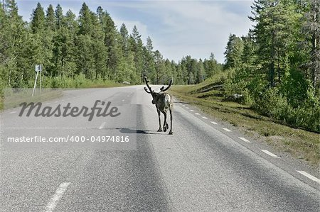 Reindeer on the highway to Boden, Sweden. Shot trough the car window as passing by. Stock Photo - Budget Royalty-Free, Image code: 400-04974816