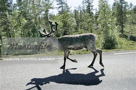 Reindeer on the highway to Boden, Sweden. Shot trough the car window as passing by. Stock Photo - Budget Royalty-Free, Image code: 400-04974817