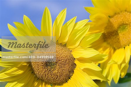 Sunflower in the village of Mijaraluenga in Burgos Stock Photo - Budget Royalty-Free, Image code: 400-04998568