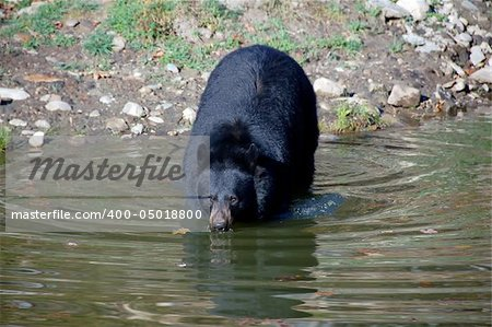 A picture of a beautiful American black bear in a small lake Stock Photo - Budget Royalty-Free, Image code: 400-05018800