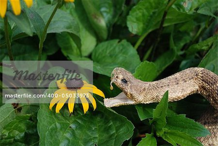 Rattle snake ready to attack a Black-eyed Susan blossom. Stock Photo - Budget Royalty-Free, Image code: 400-05033973