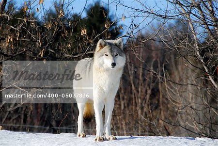 Picture of a Gray Wolf in it's natural Winter habitat Stock Photo - Budget Royalty-Free, Image code: 400-05037836