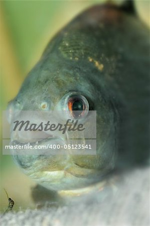 piranha.predatory fish found in South America that attacks other fish animals and occasionally humans Stock Photo - Budget Royalty-Free, Image code: 400-05123541