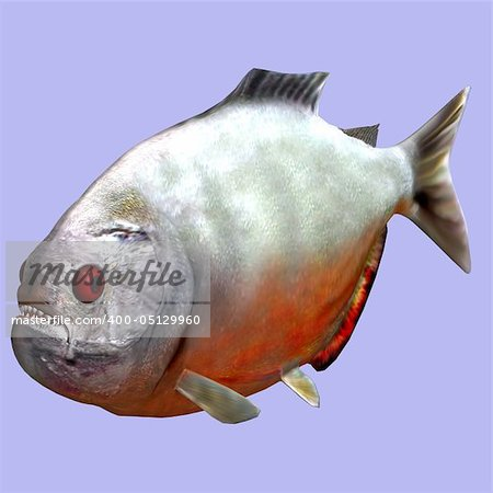 Piranha fish in water With Clipping Path Stock Photo - Budget Royalty-Free, Image code: 400-05129960
