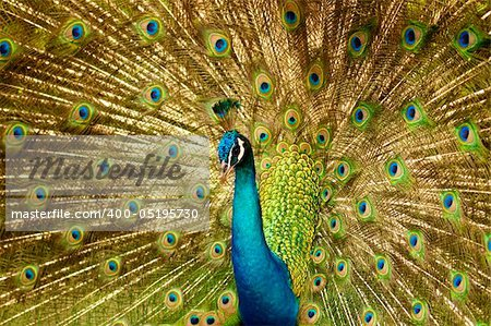 Portrait of Peacock with Feathers Out. Stock Photo - Budget Royalty-Free, Image code: 400-05195730