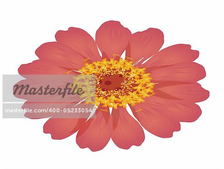 illustration drawing of a red daisy flower isolate  in a white background