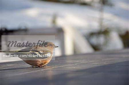This little chaffinch was recovering on a cabin table in Strandvik, Sweden. Stock Photo - Budget Royalty-Free, Image code: 400-05265507