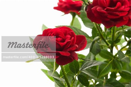 red roses on a white background Stock Photo - Budget Royalty-Free, Image code: 400-05298003