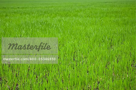 green grass on field close up for background Stock Photo - Budget Royalty-Free, Image code: 400-05346930