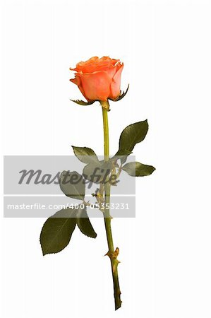rose isolated Stock Photo - Budget Royalty-Free, Image code: 400-05353231