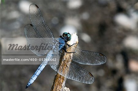 Kingdom:Animalia  Phylum:Arthropoda  Class:Insecta  Order:Odonata  Suborder:Epiprocta  Infraorder:Anisoptera