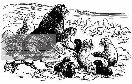 Northern fur seals camping ground