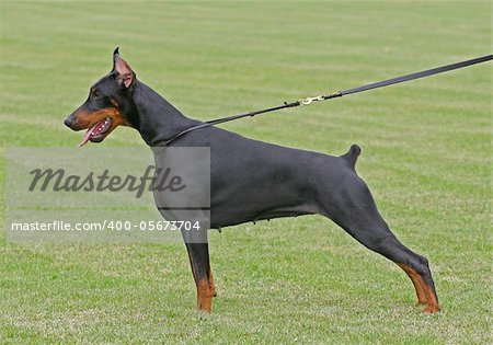 The Doberman Pinscher (alternatively spelled Dobermann in many countries) or Doberman is a breed of domestic dog. Dobermann Pinschers are among the most common of pet breeds, and the breed is well known as an intelligent, alert, and loyal companion dog. Although once commonly used as guard dogs, watch dogs, or police dogs, this is less common today. In many countries, Dobermann Pinschers are one o
