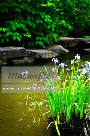 Purple iris flowers in landscaped natural garden pond