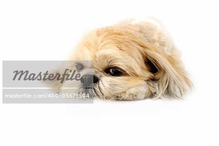 Image of a very cute Lhasa with puppy eyes on a white background Stock Photo - Budget Royalty-Free, Image code: 400-05678504