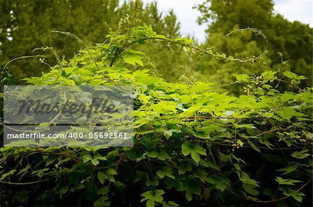 Bush green ivy in the forest or garden Stock Photo - Budget Royalty-Free, Image code: 400-05692561