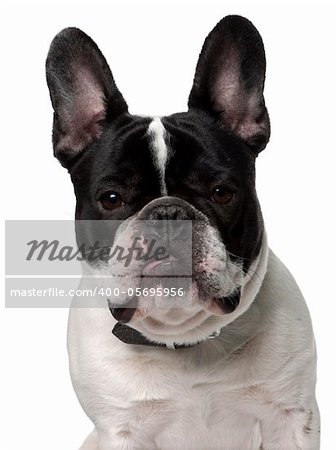 Close-up of French bulldog, 15 months old, in front of white background