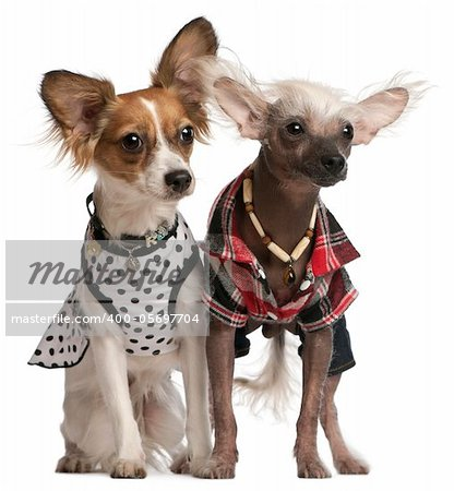 Dressed up Chinese Crested Dogs, 2 years old and 8 months old, in front of white background