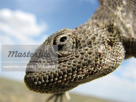 Portrait of a lizard (steppe agama) against the sky with clouds. Looks like it is smiling.