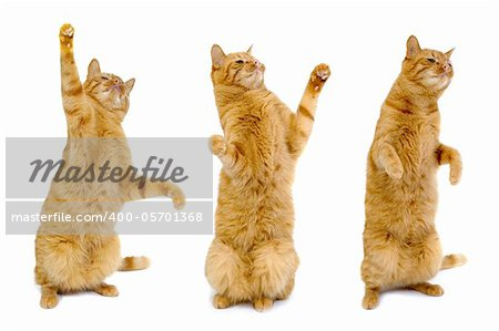 Three cat are standing up on their bag feet