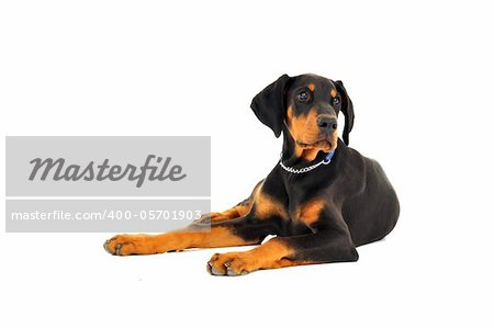 14-week old Dobermann puppy lying down with head up and front paws spread apart.