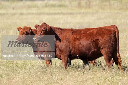 Red angus cows on pasture