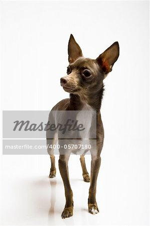 Picture of a funny curious toy terrier dog looking up. white background Stock Photo - Royalty-Free, Artist: smartfoto, Code: 400-05707180