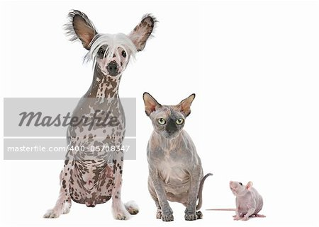 Naked cat,dog and rat in front of a white background