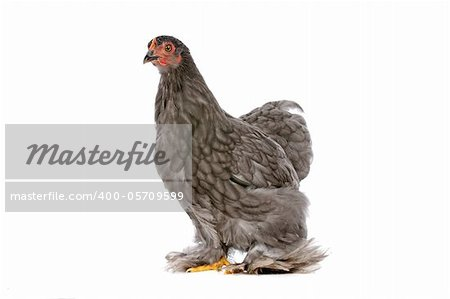 Colourful Chicken in front of a white background