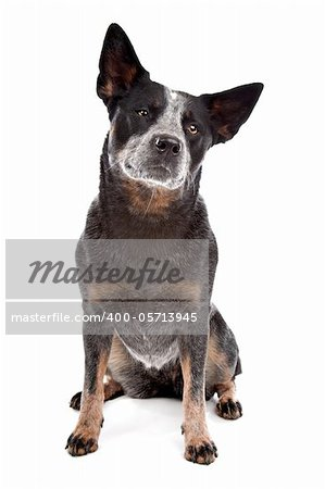 Australian Cattle Dog in front of a white background